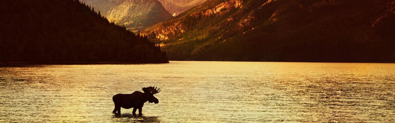 Moose Madness